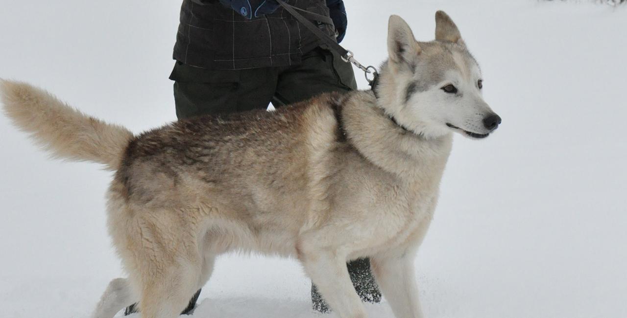 Husky-Trekking Eiterfeld-Wölf